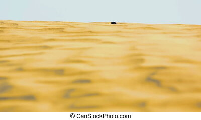 Scarab beetle in desert - Scarab crowling on the sand dune...