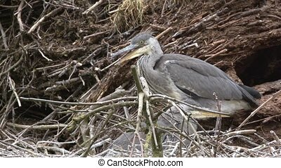 young grey heron on a nest