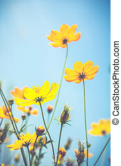 Cosmos flowers and blue sky Vintage filter effect used