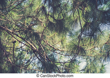 Beautiful green pine tree background Vintage filter effect...