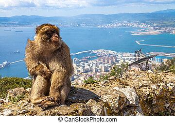 Apes Den Gibraltar - Close up of a wild macaque or Gibraltar...