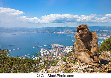 Ape of Gibraltar - A wild macaque or Gibraltar monkey, one...