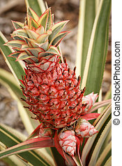 Ornamental pineapple plant - Dwarf variegated pineapple...