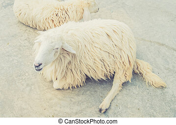 White Woolly Sheep Vintage filter effect used