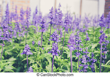 Background image with field violet flowers of lavender