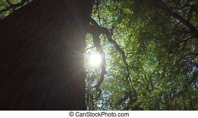 old oak in springtime