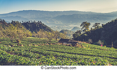 strawberry garden at Doi Ang Khang , Chiang Mai, Thailand....