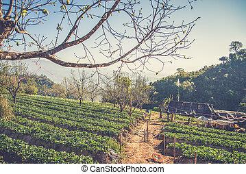 Strawberry garden at Doi Ang Khang , Chiang Mai, Thailand....