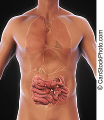 Human Small Intestine Anatomy