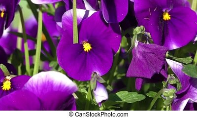 Violet pansy - Group of three bright violet pansy viola...