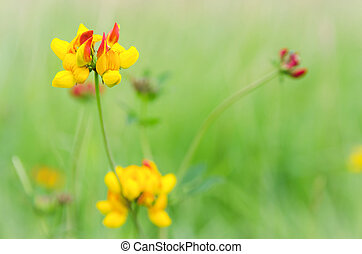 Common Trefoil - Common birds-foot trefoil ( lotus...