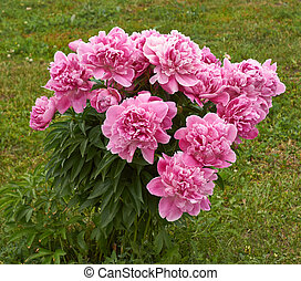 Flowering bush peony fine-leaved pink. - Paeonia tenuifolia....