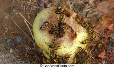 Wasps collect apple fruit sweet juices on the ground