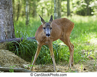 Wild roe deer walking through the woods on a sunny summer...