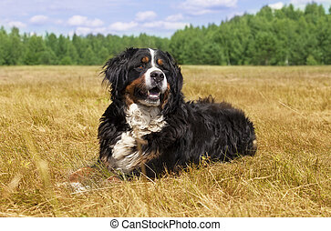 Bernese Mountain Dog outdoors - Bernese Mountain Dog Berner...