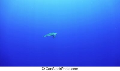 Turtle Swimming in Blue Water, underwater scene