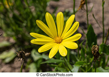 Osteospermum voltage yellow - Closeup on Osteospermum...
