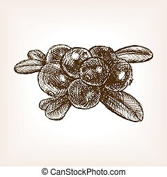 Cranberry berry fruit hand drawn sketch vector - Cranberry...