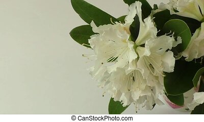 White rhododendron flowers isolated on white design element.