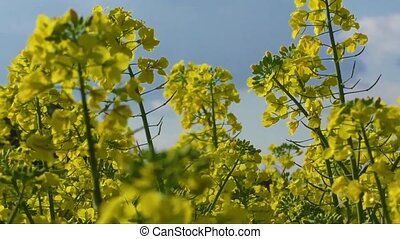 Flowering rapeseed - Yellow oilseed rape flower differential...