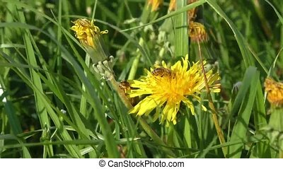 Bee collects nectar on a dandelion, yellow dandelion,...