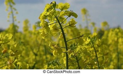 Yellow oilseed rape flower differential focus