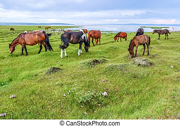 Mongolian horses grazing by Khovsgol Lake in northern...