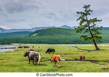 Khovsgol National Park, Mongolia - Cattle grazing at...