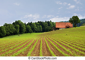 agriculture fields - fresh seeded field with cows and farm...