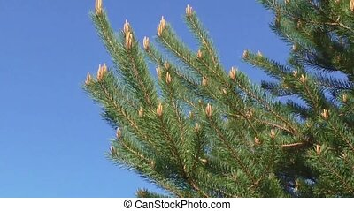 Pine tree moving in wind against a blue sky