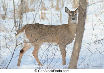 Whitetail Deer Doe Standing In Snow