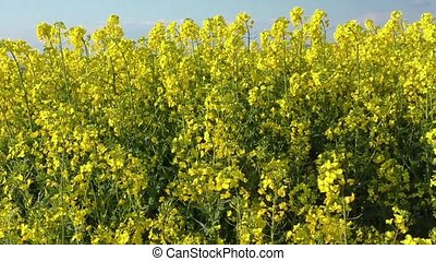 Blooming canola field at spring
