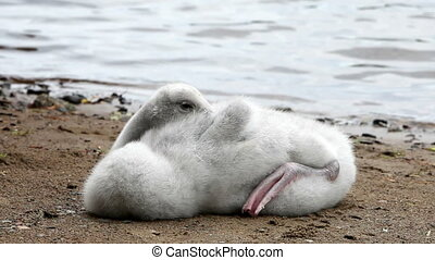 The young swan cleans feathers on the bank of the lake ,