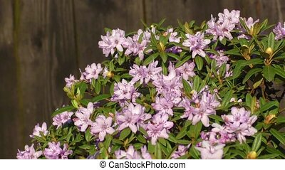 Pink rhododendron flowers - Beautiful pink rhododendron...
