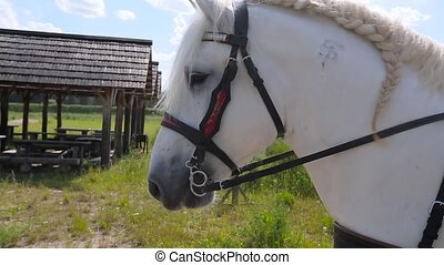 Horse in harness close up.