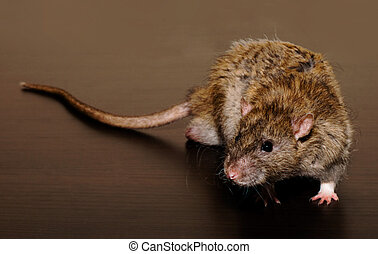 Rat - A photo of a rat, isolated on black