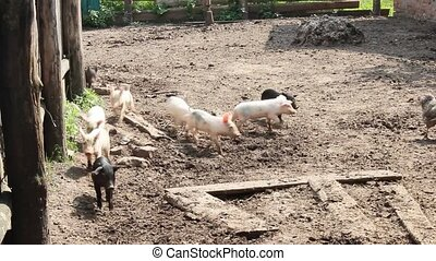 piglets run jolly on a farm - multicolored piglets fun run...