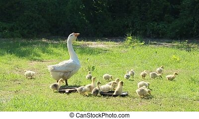 young goslings with goose