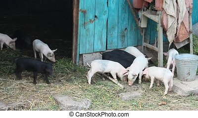 piglets on a farm - pink and black amusing piglets on a farm