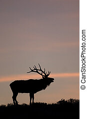 Bugling Elk in Yellowstone National Park, Wyoming -...