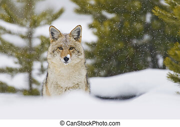 Coyote in Snow Storm. Yellowtone National Park, Wyoming. -...