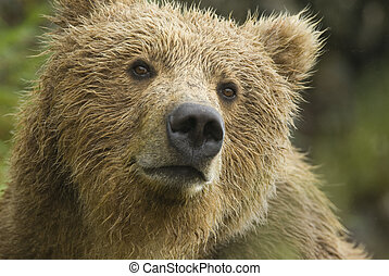 Brown Bear in the rain. Alaska - Brown Bear (Ursus arctos)...