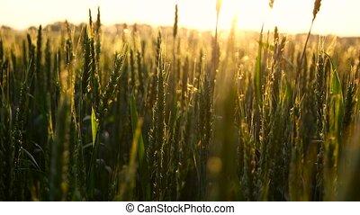 Green wheat in sun rays.