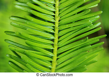 Grand Fir Abies grandis needles - Closeup of grand fir...