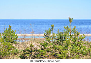 Pine tree on the coast of Ladoga lake - Pine tree on the...