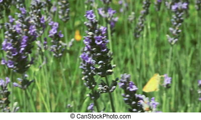 Lavender Bush Pan - Pollination of Lavender Flowers