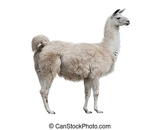 lama isolated - adult lama exterior isolated over a white...