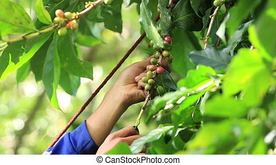Farmer harvesting coffee beans - Farmer harvesting ripe...