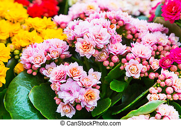 Vibrant colorful pink Kalanchoe fowers holiday background -...