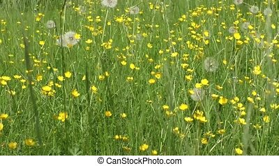 Buttercup flowers in meadow